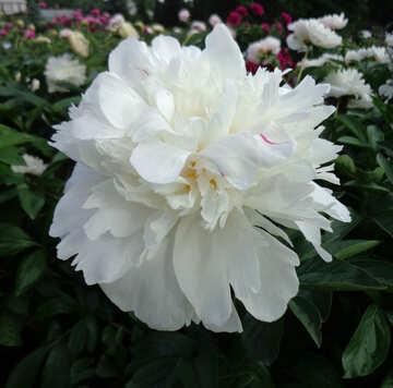 Peonia bianca №46694