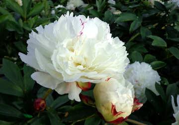 Peonia bianca №46885