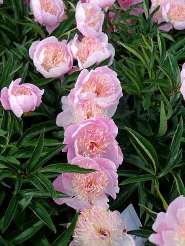 Peonia rosa №46887