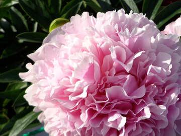 Peonia rosa №46890
