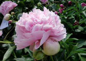 Peonia rosa №46891
