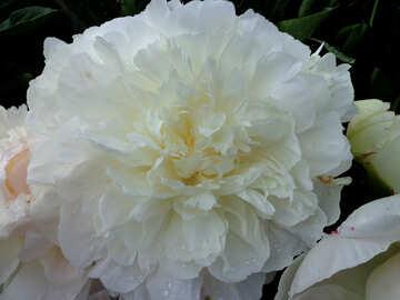 White peony №46692