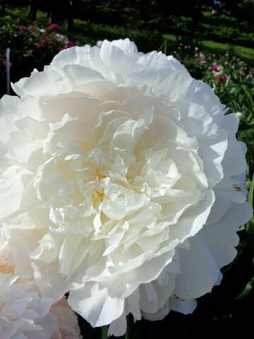 Peonia bianca №46889