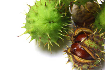 El castaño de indias aislado en un fondo blanco fruta abierta №46371
