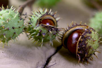 Beautiful conker on a wooden background №46461