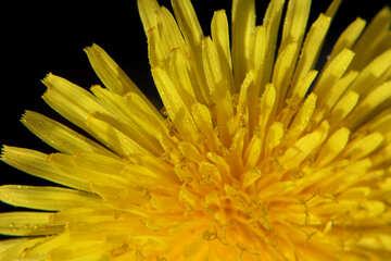 Bright yellow dandelion flower №46760