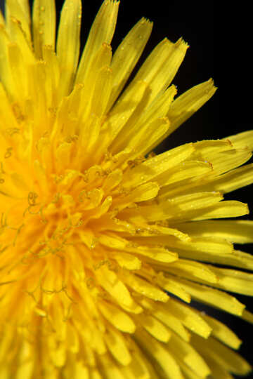 Bright yellow dandelion flower №46761