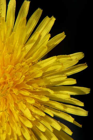 Bright yellow dandelion flower №46762