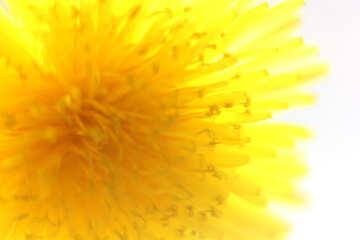 Bright yellow dandelion flower №46764