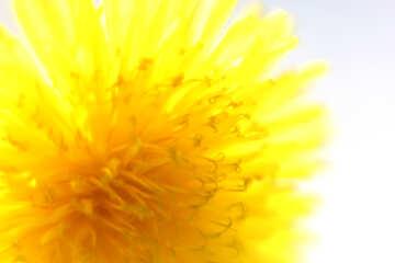 Bright yellow dandelion flower №46765