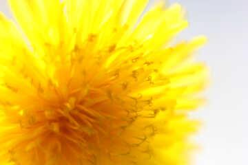 Bright yellow dandelion flower №46766