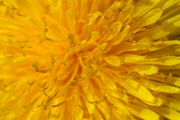 Yellow dandelion flower big №46767