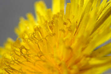 Yellow dandelion flower big №46770