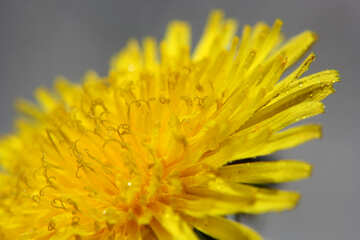 Yellow dandelion flower big №46771