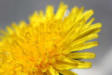 Yellow dandelion flower big №46772
