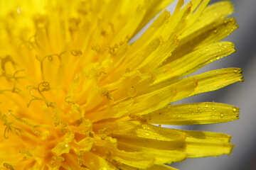 Yellow dandelion flower big №46774