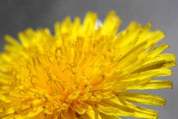 Yellow dandelion flower big №46776