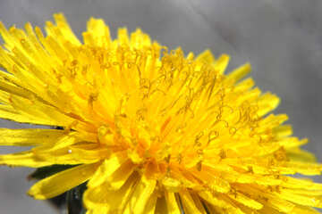 Yellow dandelion flower big №46777