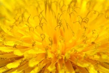 Yellow dandelion flower big №46778