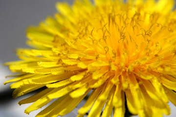 Yellow dandelion flower close up №46779