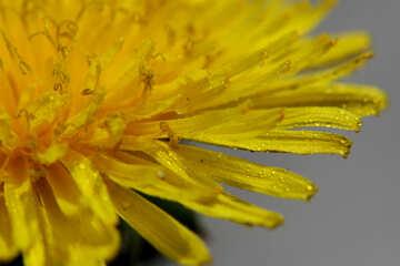 Yellow dandelion flower close up №46780