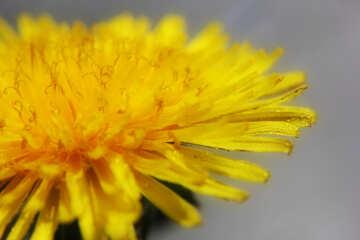 Yellow dandelion flower close up №46781