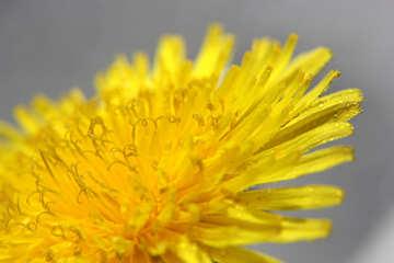 Yellow dandelion flower close up №46782