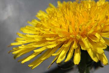 Yellow dandelion flower close up №46784