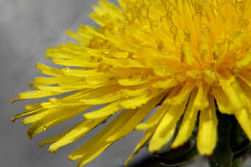 Yellow dandelion flower close up №46786