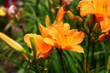 Yellow Lily on a bush №46808