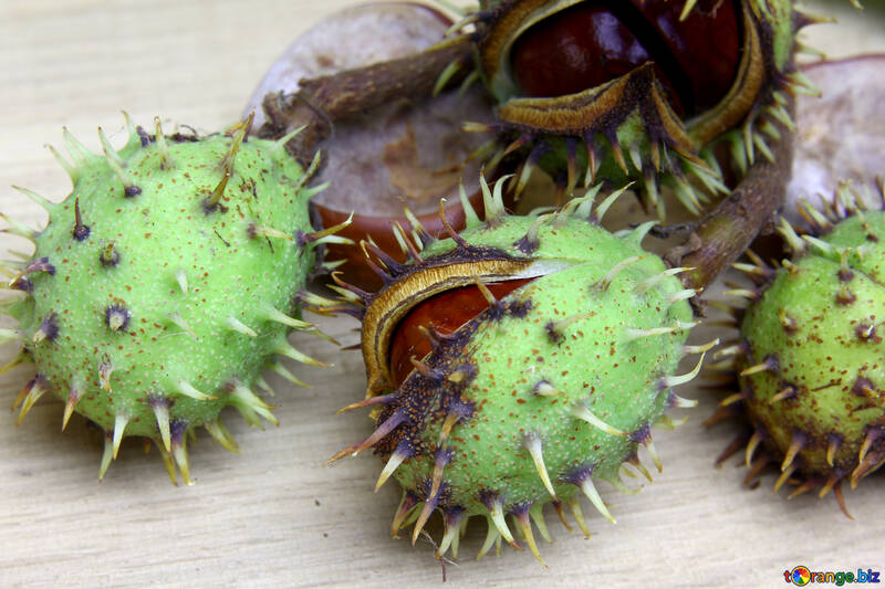 Autumn fruits horse chestnut №46418