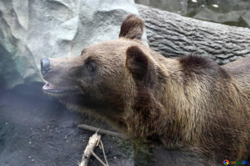 Retrato del oso №46048