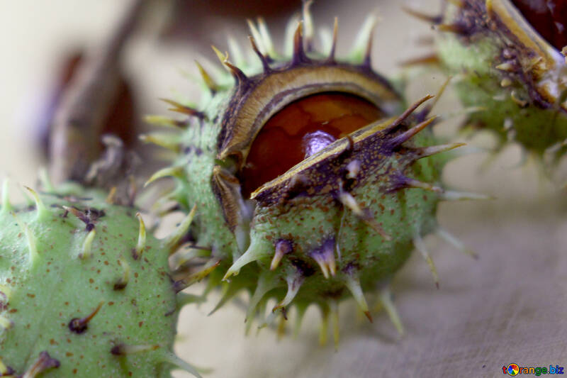 Tree conker thorns №46433