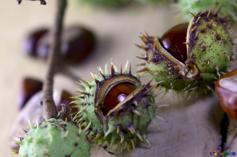 Tree conker thorns №46437