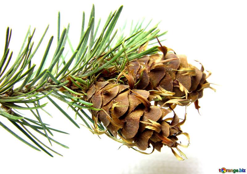 Branche de pin avec cône №46328