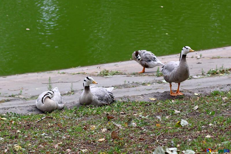 Les oies sauvages №46026