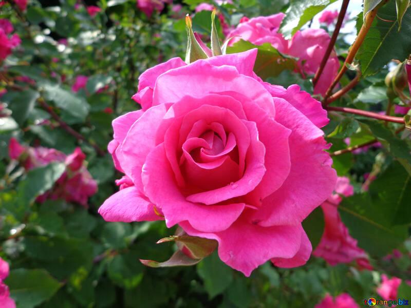 Роза цветок №46696
