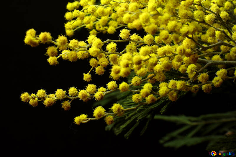 Mimosa flowers isolated on a black background №46280