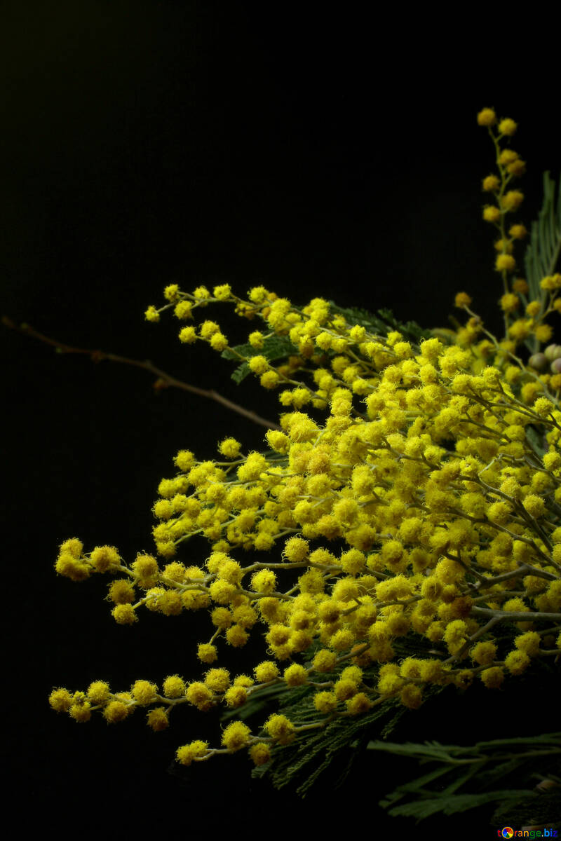 Mimosa flowers isolated on a black background №46282