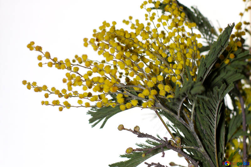 Mimosa flowers isolated on white background №46291