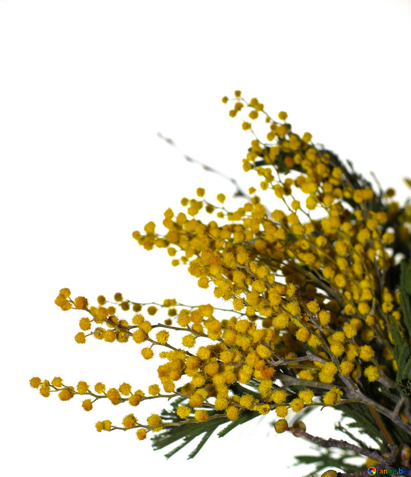 Mimosa flowers isolated on white background №46298
