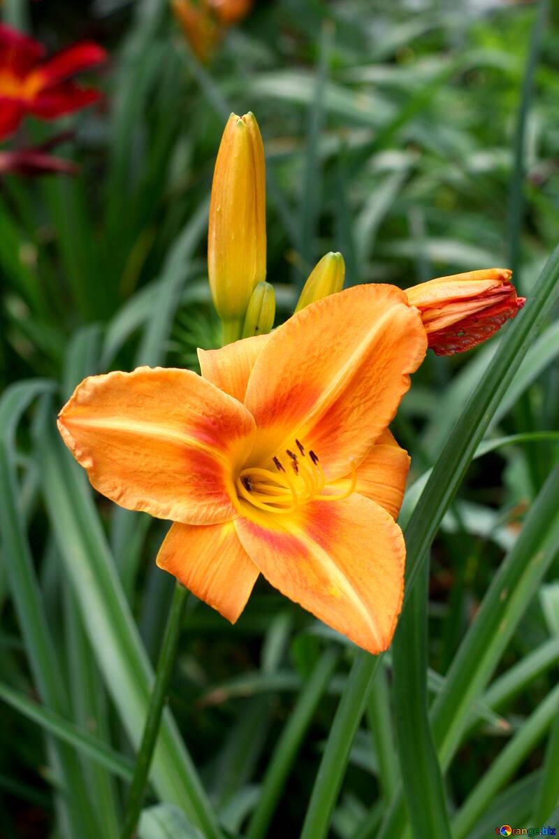 Оранжевая лиля №46815