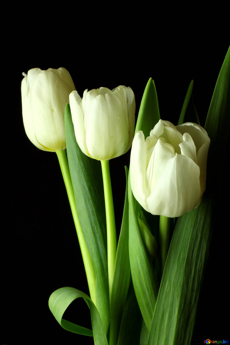 Tulips bouquet on a black background №46267