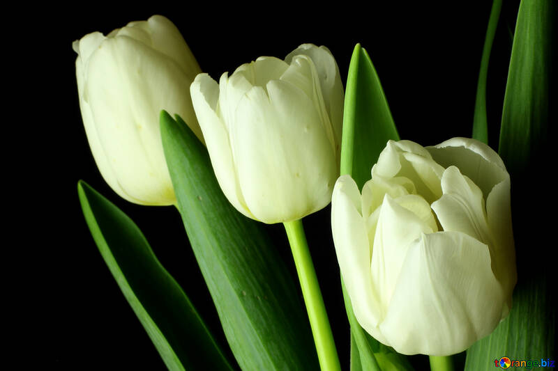 Tulips bouquet on a black background №46271