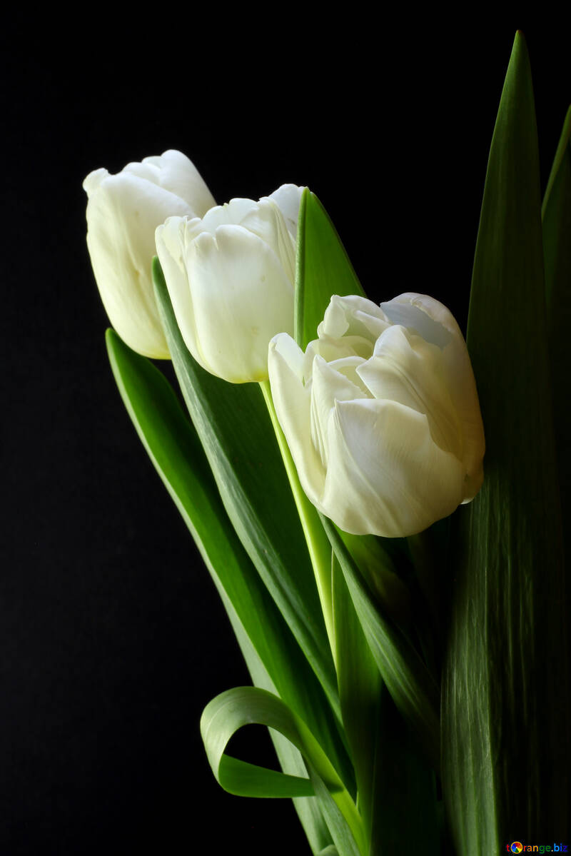 Tulips bouquet on a black background №46272