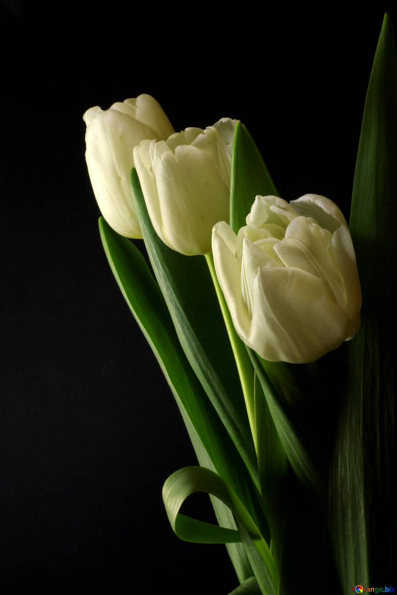 Tulips bouquet on a black background №46274