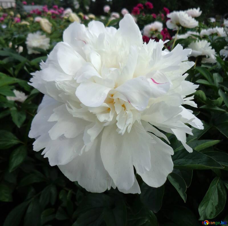 White peony №46694