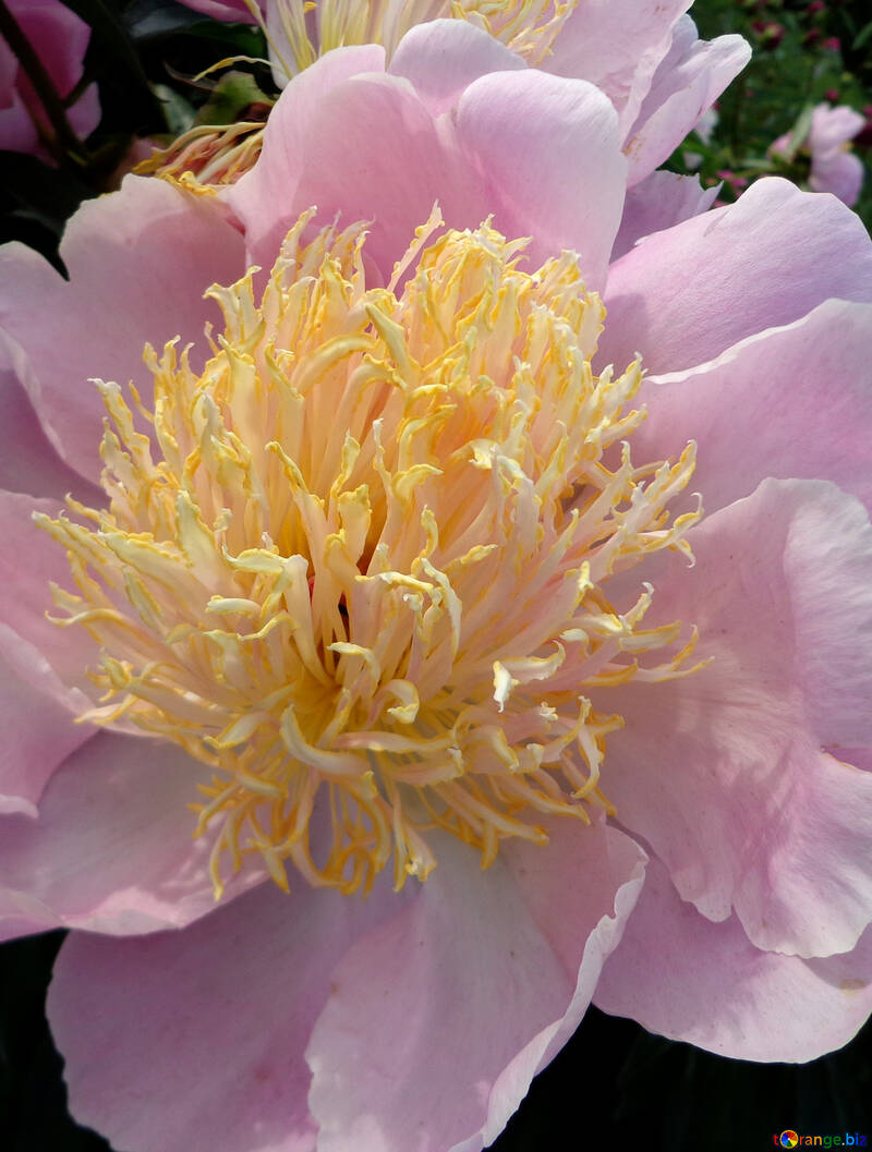 Flor del peony №46888