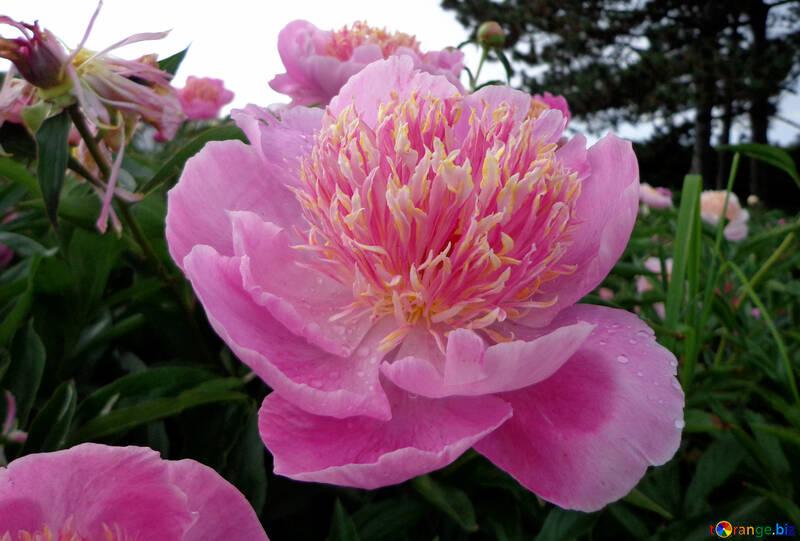 Pink peony №46689