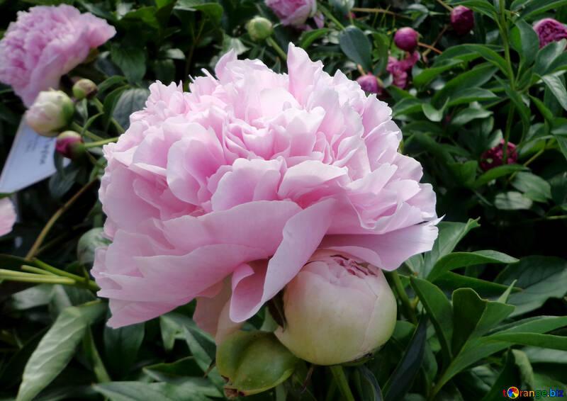 Pink peony №46891
